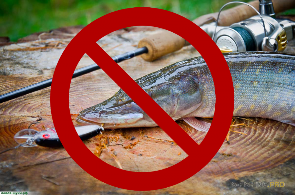 Ловля щуки в ленинградской области запрет